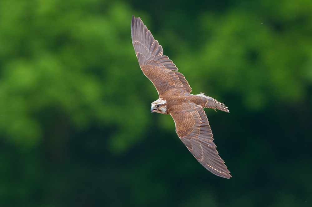 Falke beim Jagen