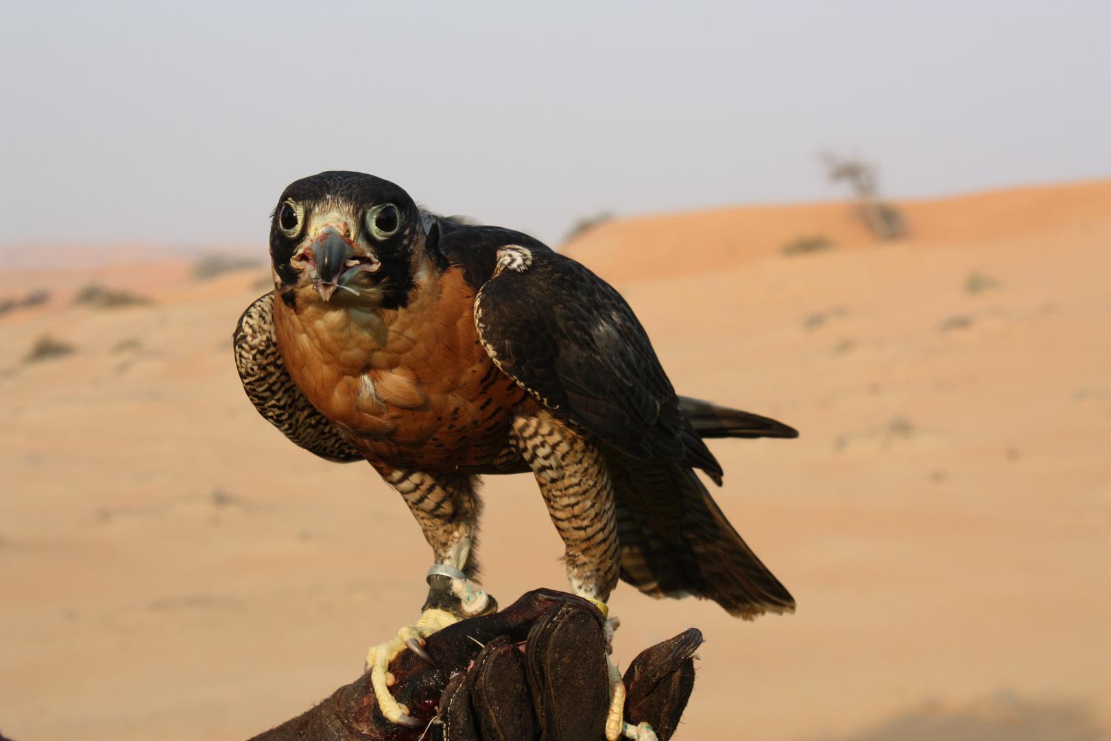 Falke beim Training in der Wüste...