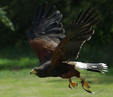 Falke I