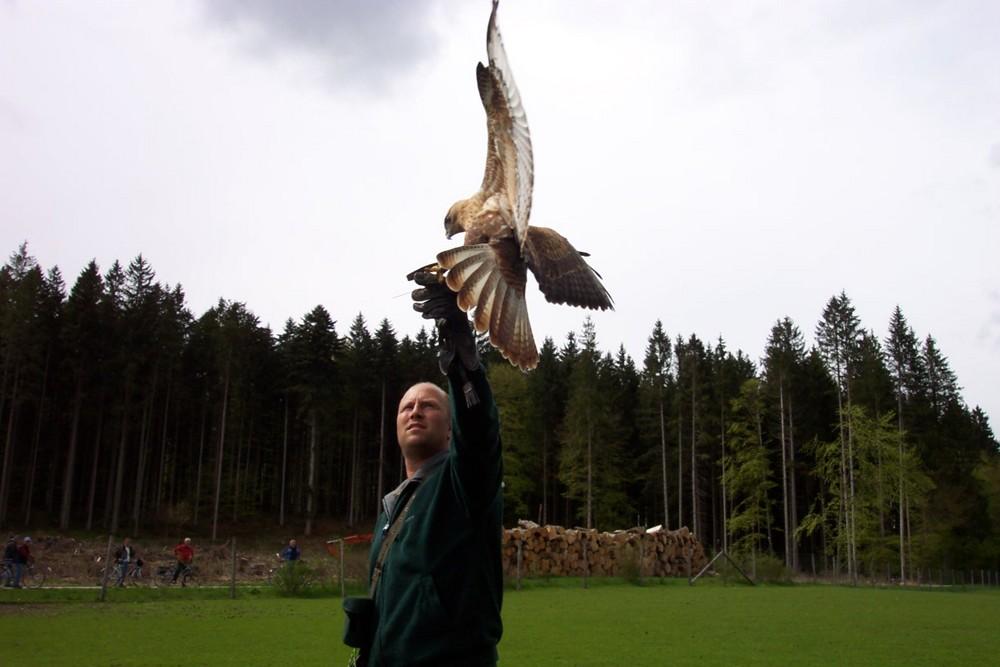 Falke im Anflug