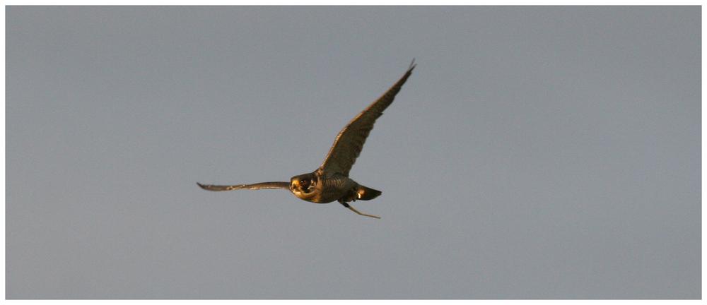 Falke im Flug 2
