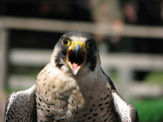 Falke im Panoramapark