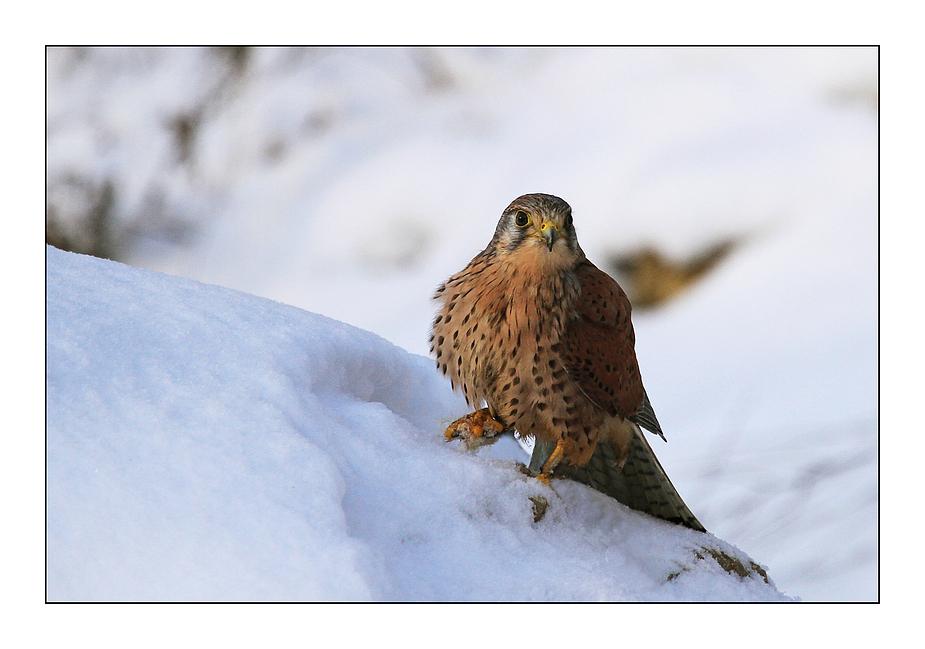 Falke im Schnee