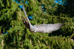 Falke in action
