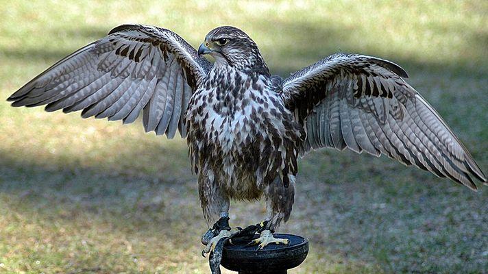 Falke in der Sonne.....
