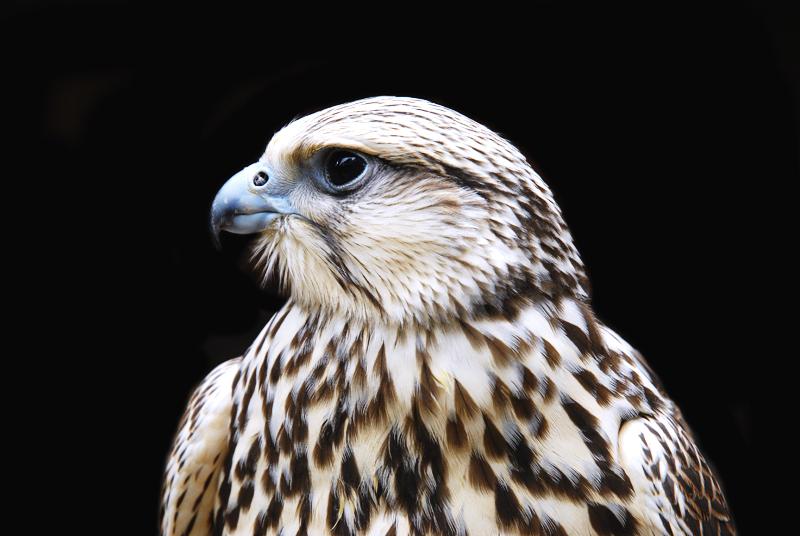 Falke in La Volerie des Aigles