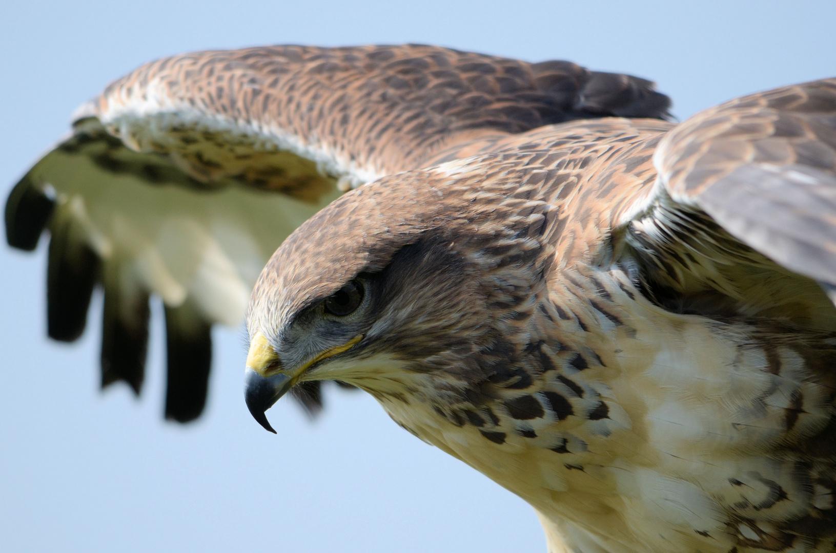 Falke in Nordhorner Vogelflugschau.