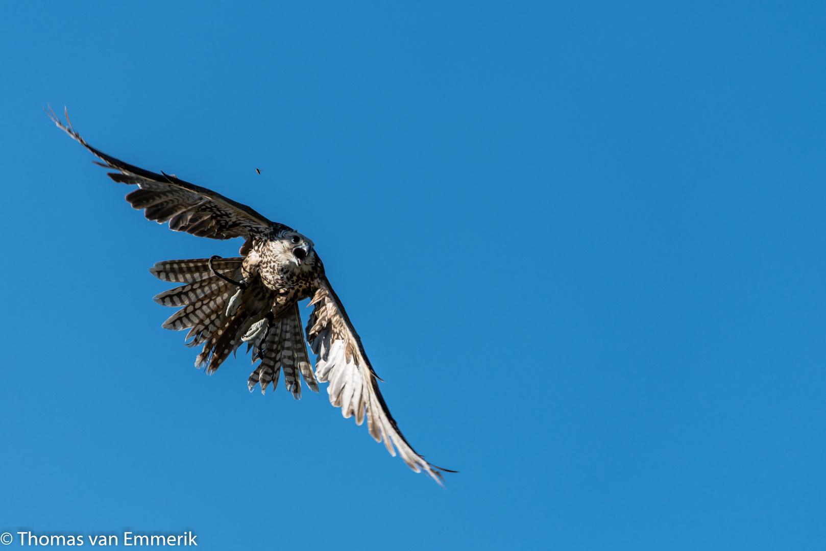 Falke mit Biene im Flug