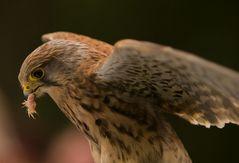 Falke mit Futter