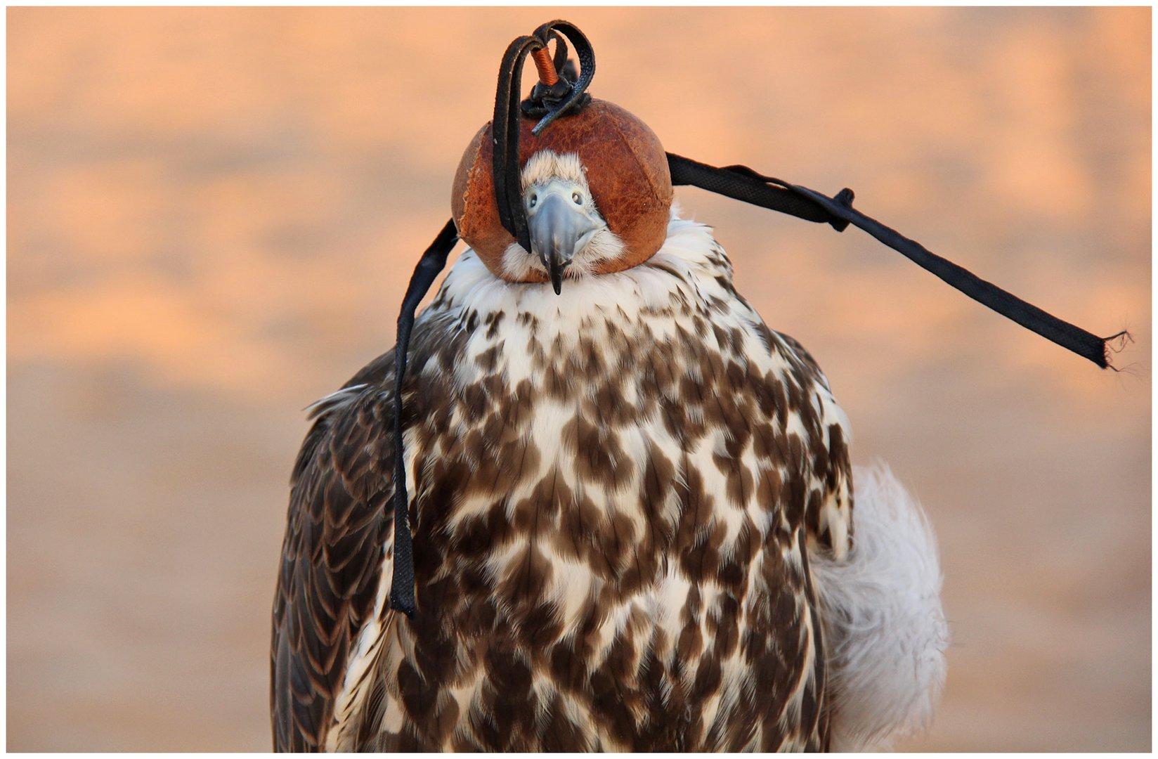 Falke mit Haube
