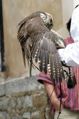Falke nach dem Anflug