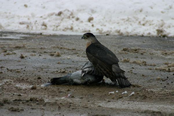 Falke schlägt Taube