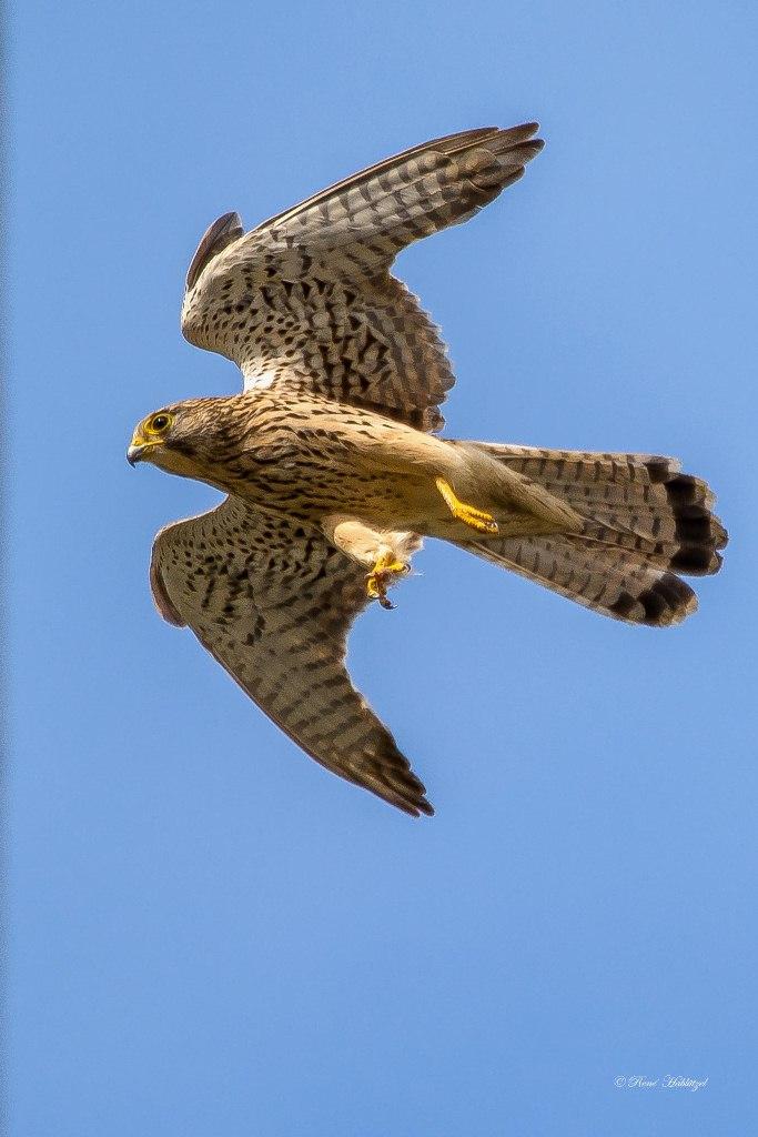 Falke setzt zur Landung an