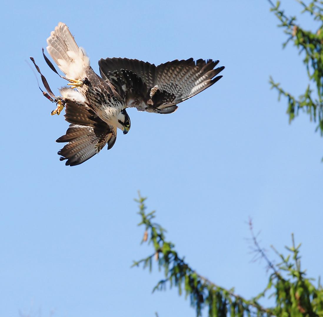 Falken - Flugstudie 3