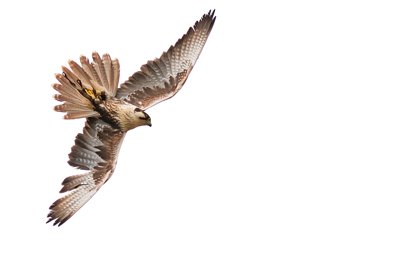 Falken - Flugstudie 5