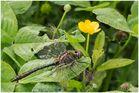Falkenlibelle(Cordulia)