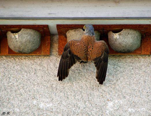 Falkenmännchen als Nesträuber.....