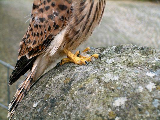 Falkenwerkzeug