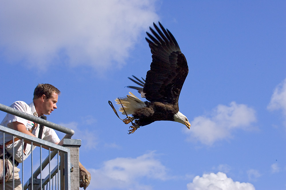 Falkner wirft Weißkopf-Seeadler übers Geländer in den Abgrund ;-)