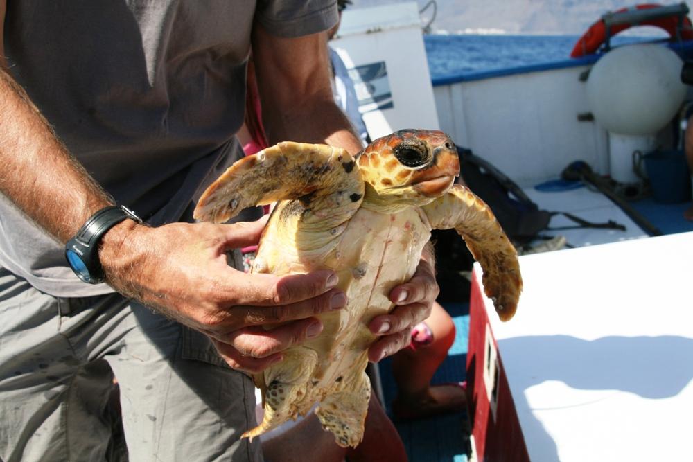 falsche Karettschildkröte vor La Gomera nach Ihrer Rettung