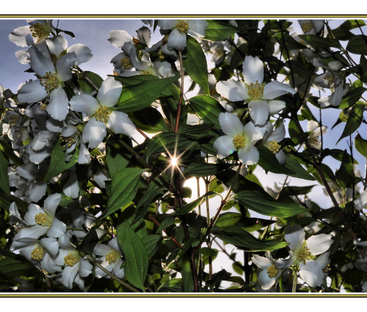 falscher jasmin strauch foto bild pflanzen pilze flechten bl ten kleinpflanzen. Black Bedroom Furniture Sets. Home Design Ideas