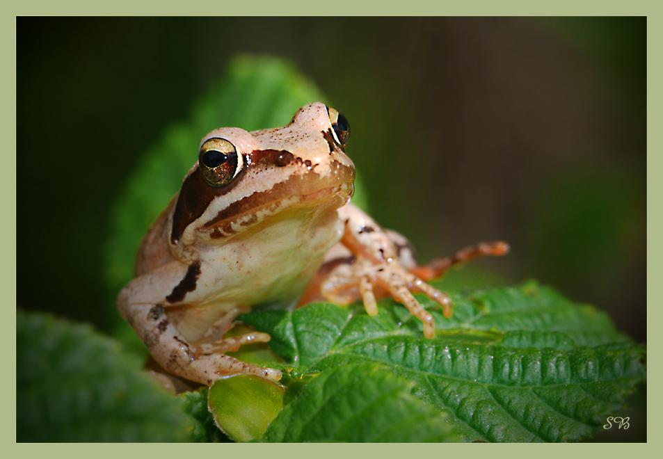 Falscher Laub-Frosch
