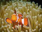 False clown Anemonefish (Clownfish) - Amphiprion ocellaris - Orange-Ringel Anemonenfisch