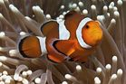 False clown Anemonefish (Clownfish) - Amphiprion ocellaris - Orange-Ringel Anemonenfisch (Clownfisch