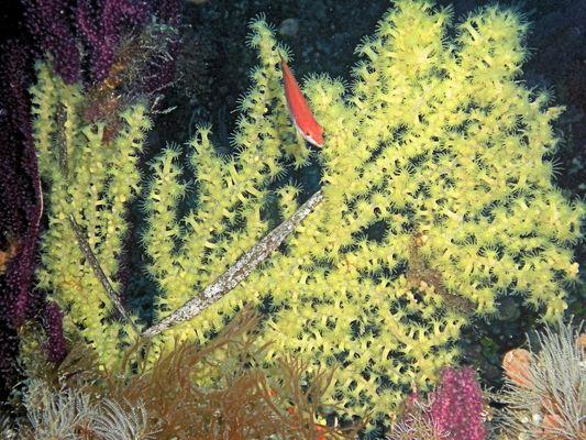 falso corallo nero del mediterraneo