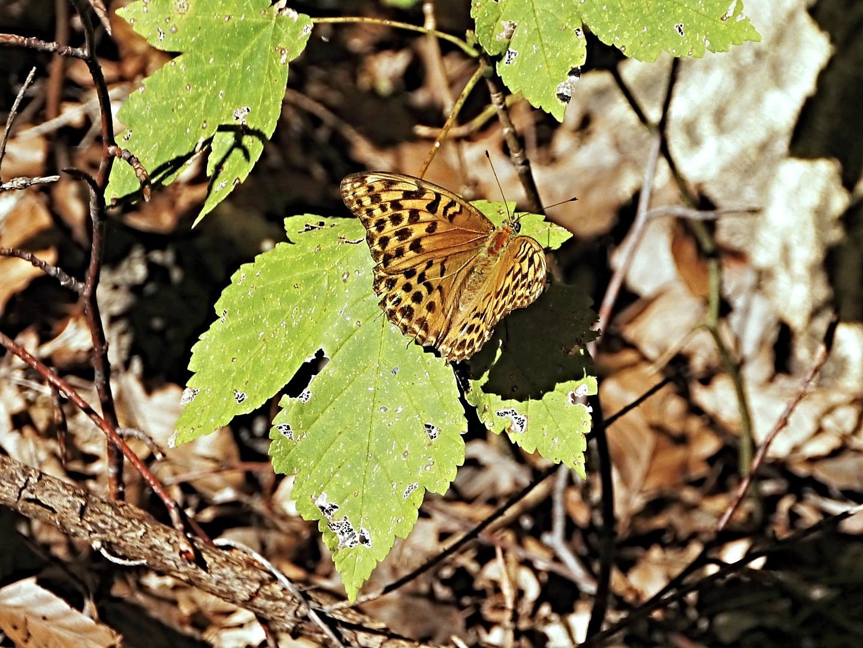 Falter auf dem Waldboden