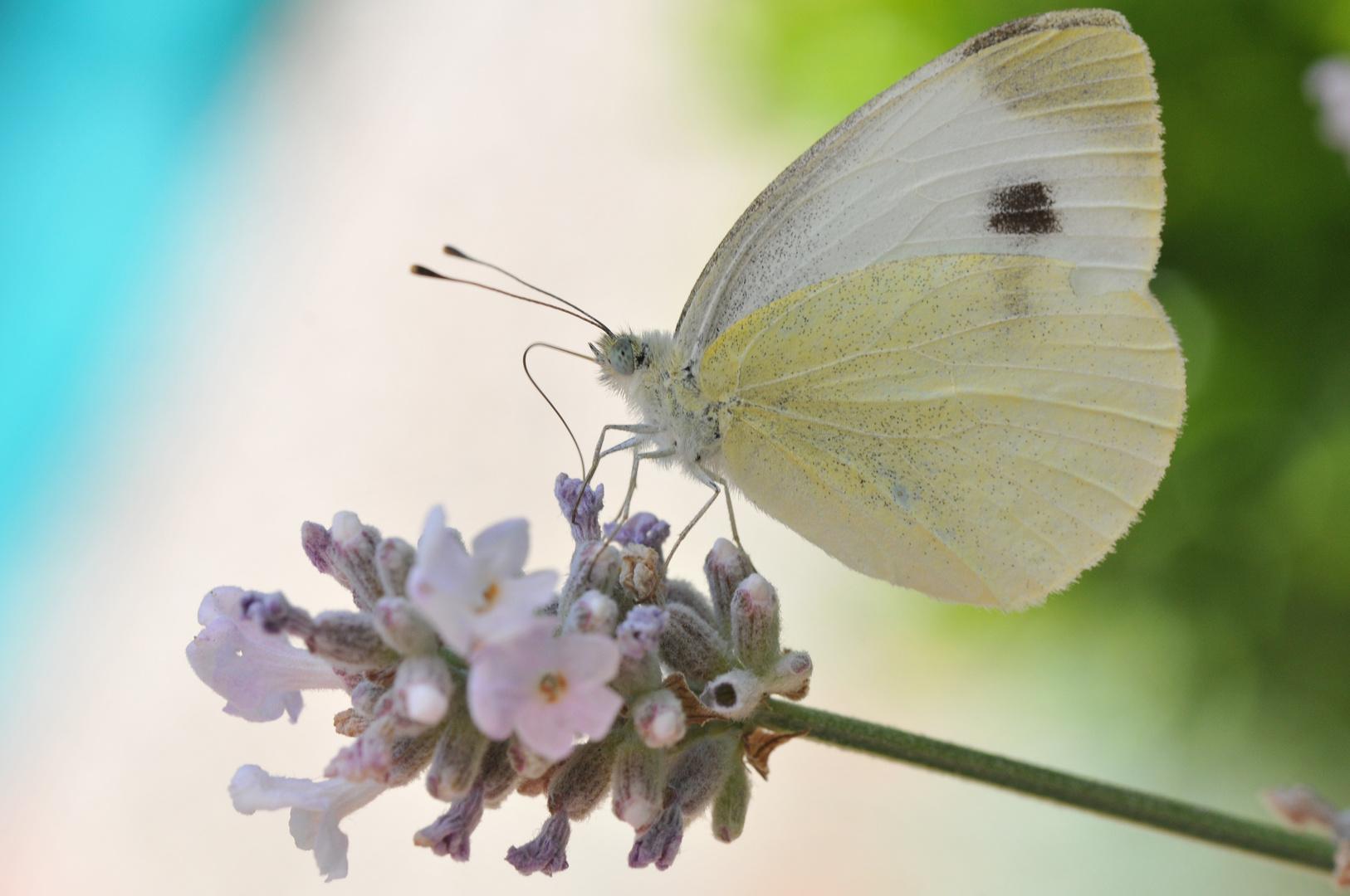 Falter auf Lavendel