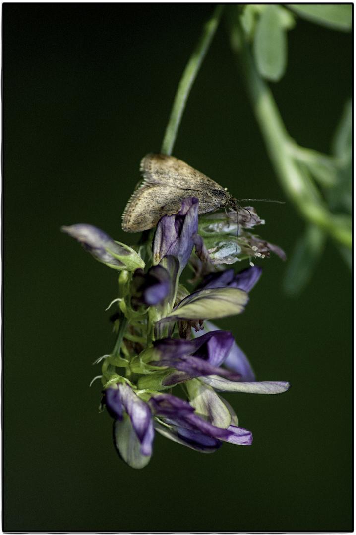 Falter oder Schmetterling