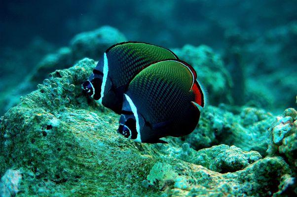 Falterfische auf den Malediven
