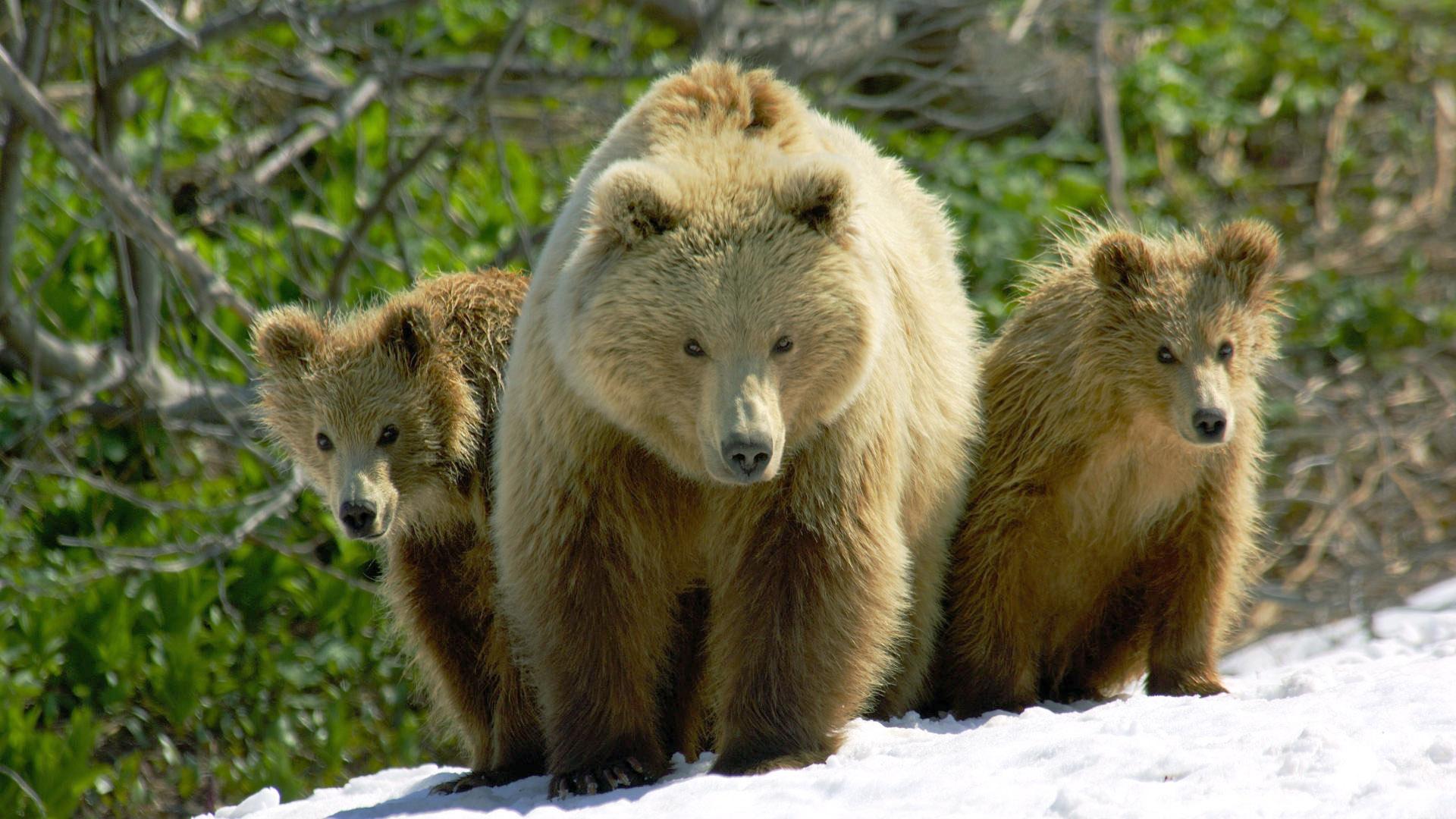 Fam. Bear