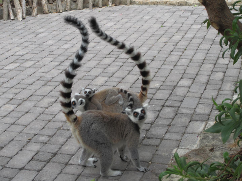 Familia de Lémures