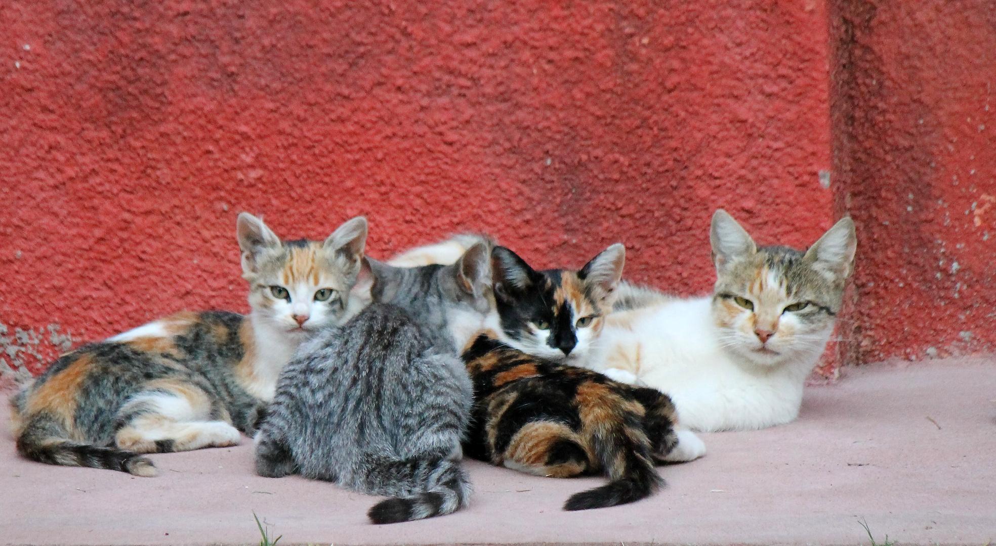 Familia gatuna
