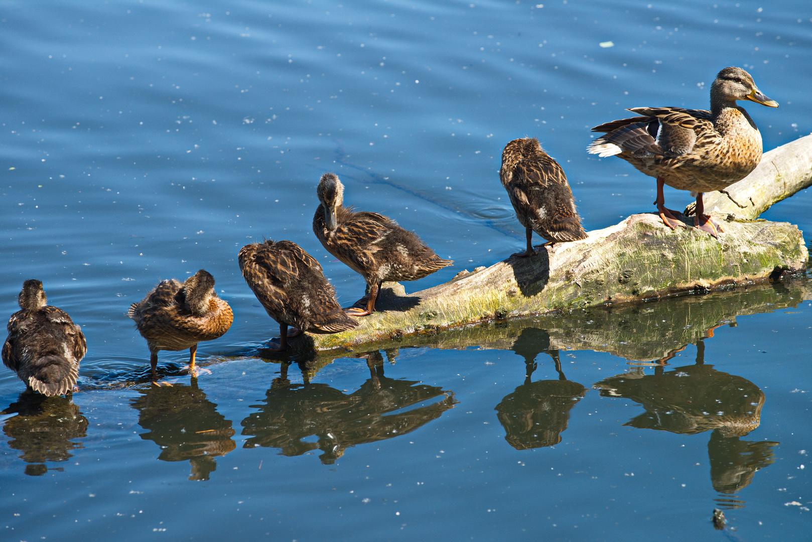 Familie Ente beim Putzen