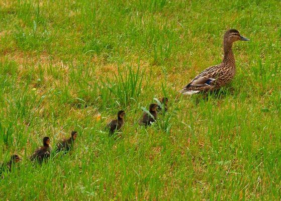 Familie Ente