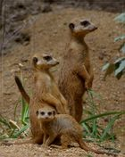 Familie Erdmännchen