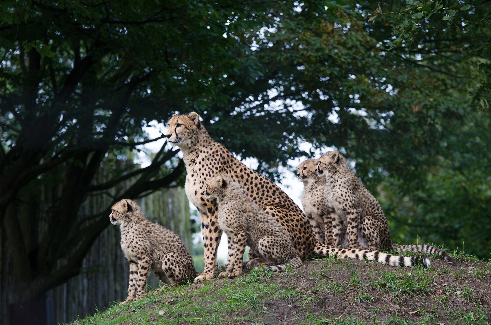 Familie Gepard (fehlt leider einer)