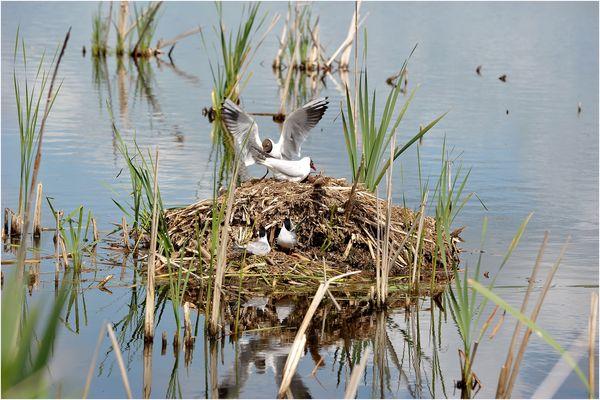 Familie Lachmöwe beim Nestbau