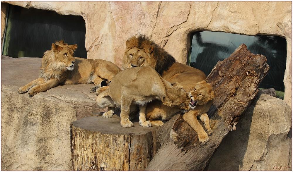 Familie Löwe (1)