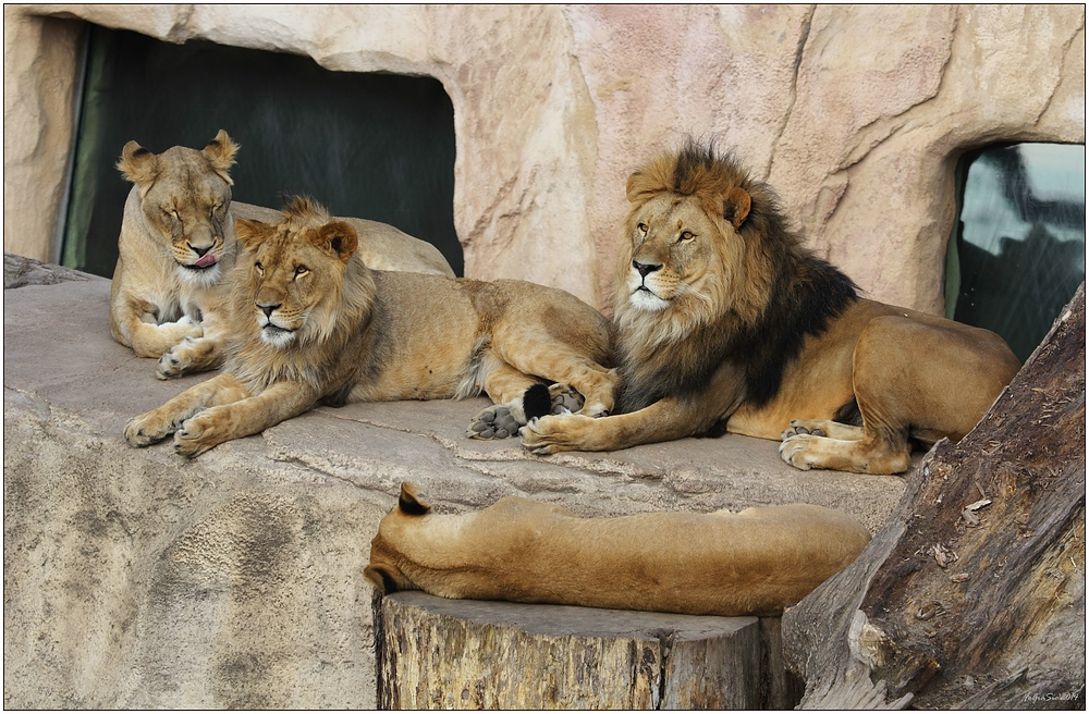 Familie Löwe (4)