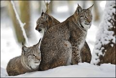 [ Familie Luchs ]