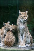 Familie Luchs