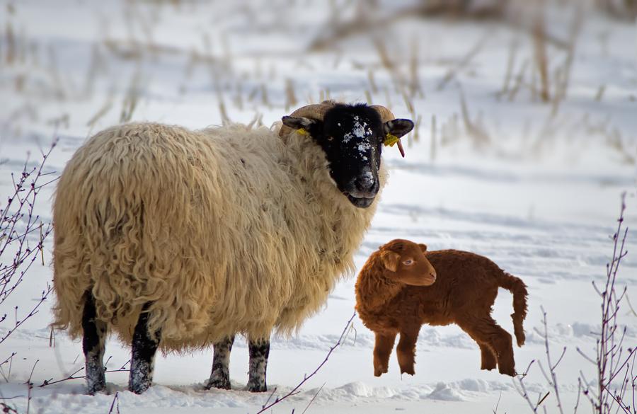Familie schaf im winter foto bild tiere haustiere for Goldfischteich im winter
