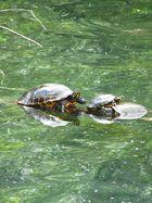 Familie Schildkröte beim Sonnenbaden