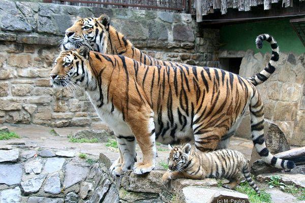 Familie Tiger...