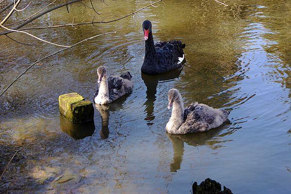 Familie Trauerschwan