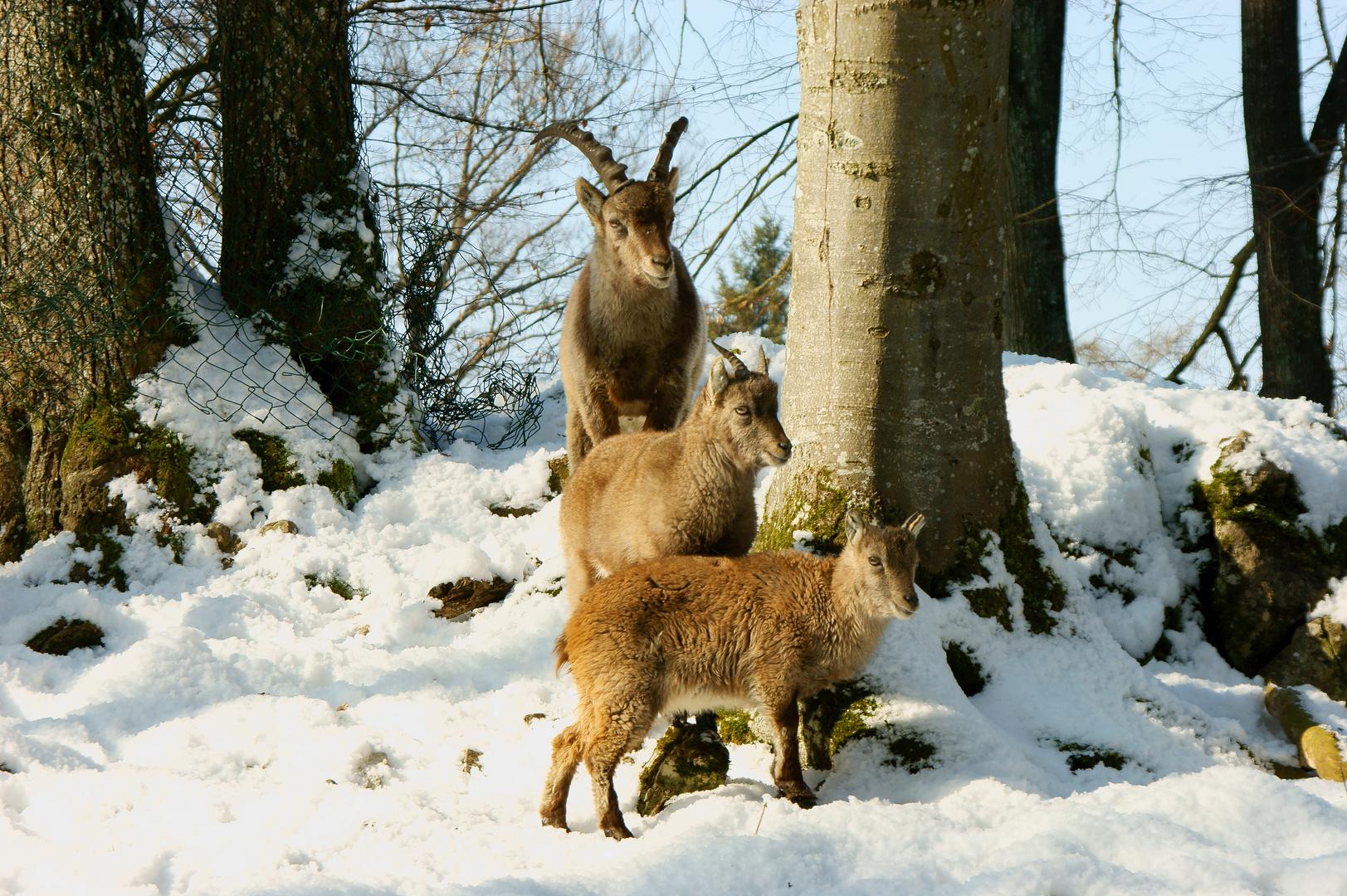 Familien Einblicke (Capra ibex)